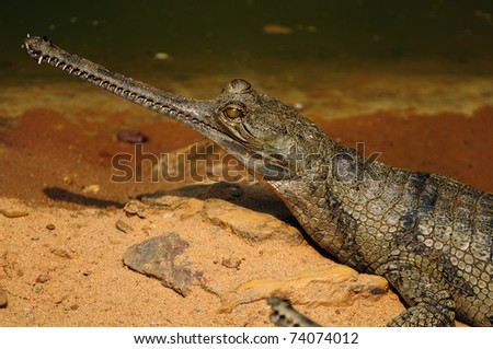 Closeup head shot of a Gharial crocodile which is listed among very endangered species. - stock photo