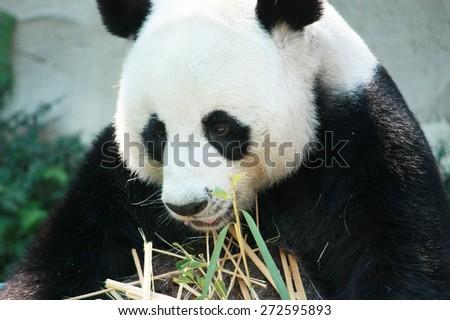 Closeup Hungry giant panda bear eating bamboo - stock photo