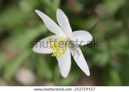 Closeup image of a flower anemones Asherah (Anemone nemorosa) - stock photo