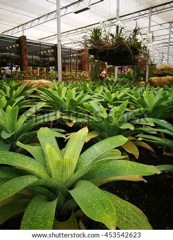 Closeup image of Aechmea fasciata in greenhouse - stock photo