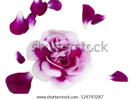 Closeup image of pink flower and red flower petals on white surface. - stock photo