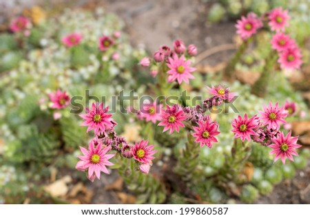 Closeup in bird's eye view of pink blooming Cobweb Houseleek or Sempervivum arachnoideum in the early summer season. - stock photo