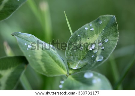 Closeup indoor natural fresh green leaf plant with many shiny transparent drops of water dew raindrops against green background, horizontal picture - stock photo