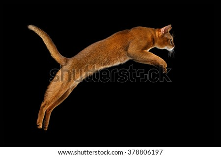 Closeup Jumping Abyssinian cat Isolated on black background, Profile view - stock photo