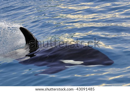 Closeup killer whale (Orcinus orca) swimming fast in blue water - stock photo
