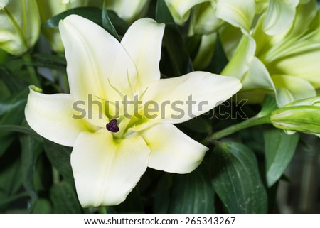 closeup lily flower in vase - stock photo