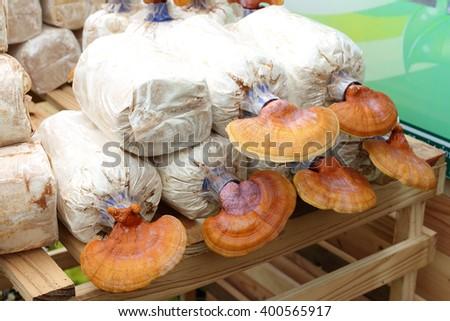 Closeup Lingzhi (Ganoderma lucidum) growing at mushroom farm. - stock photo