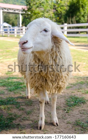 Closeup long wool of smiling sheep on the farm. - stock photo