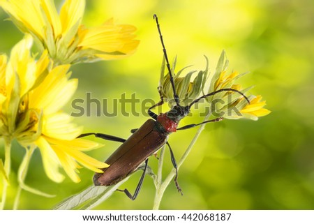 Closeup Longhorn beetle (Aromia moschata) on yellow flower on yellow-green background - stock photo