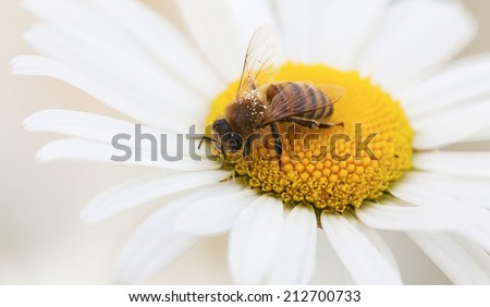 Closeup , macro bee on a daisy - stock photo