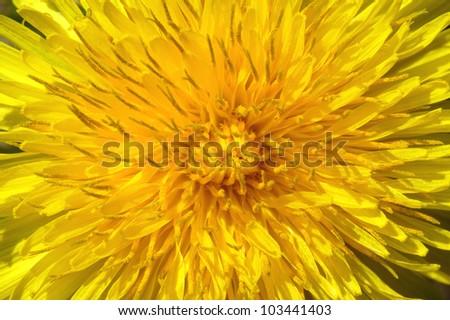 closeup macro of a dandelion - stock photo