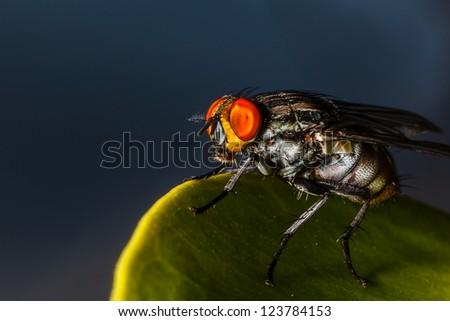 Closeup (macro) of a Dermatobia hominis fly on dark background - stock photo