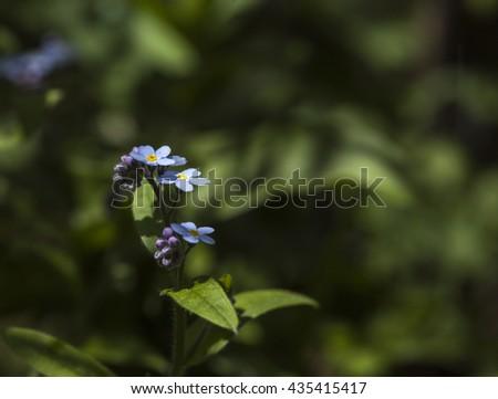 Closeup, macro of a few blue myosotis in a garden. Fuzzy dark background.  - stock photo