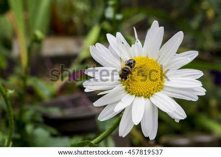 Closeup macro view of a small bee sitting on a daisy blossom - stock photo