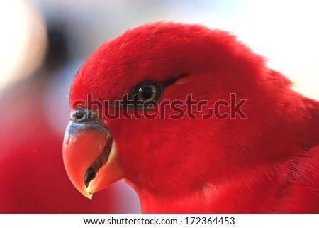 Closeup,Morotai Yellow-backed Lory ,Red Parrot , thailand - stock photo