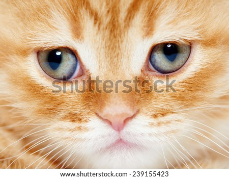 closeup muzzle of british shorthair red kitten cat - stock photo
