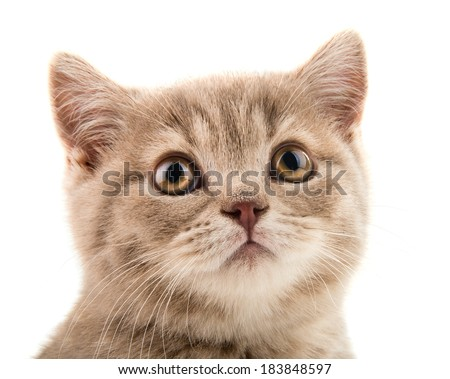 closeup muzzle the beautiful brown little  kitten, on white  background , isolated - stock photo