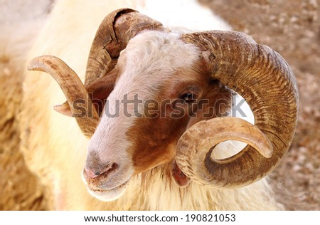 Closeup of a Awassi sheep - stock photo