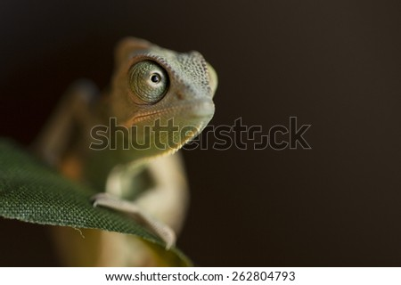 Closeup of a baby green chameleon - stock photo