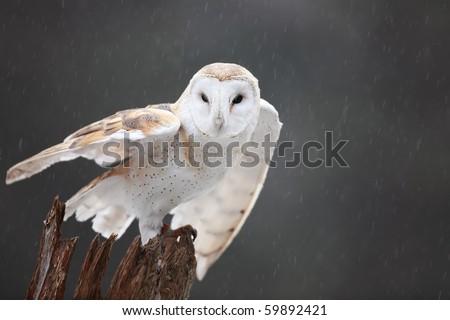 Barn Owl Taking Off Closeup of a Barn Owl ready to
