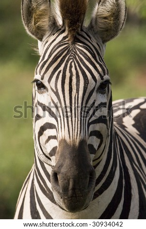 Closeup of a beautiful african zebra directly from the front looking at camera - stock photo