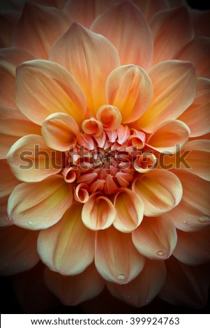 Closeup of a beautiful dahlia flower in apricot peach pastel tones on dark background - stock photo