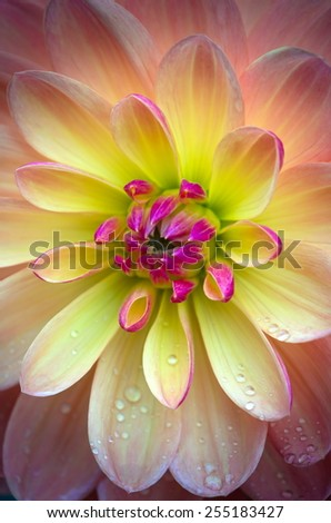Closeup of a Beautiful Dahlia Flower in Vibrant Colors - stock photo