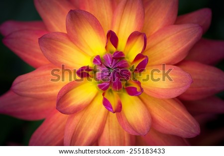 Closeup of a Beautiful Dahlia Flower in Yellow Orange Pink, soft focus - stock photo