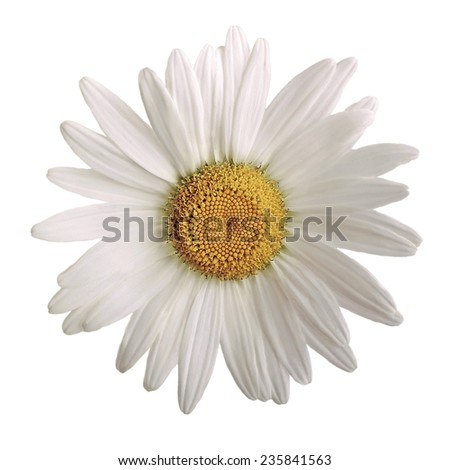 closeup of a beautiful daisy flower isolated on white background - stock photo