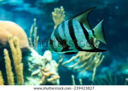 Closeup of a beautiful French Angelfish in Caribbean sea - stock photo