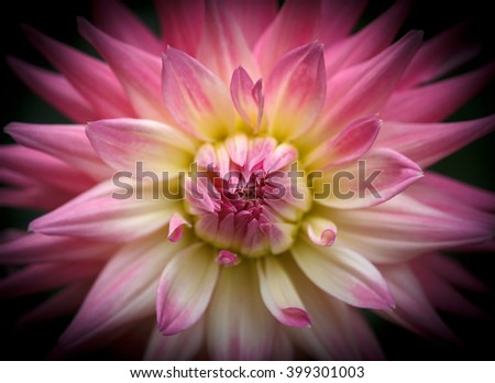 Closeup of a beautiful pink pastel colored dahlia flower on dark background - stock photo