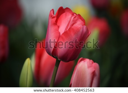 Closeup of a beautiful red colored tulip in a natural garden environment - soft bokeh background - stock photo