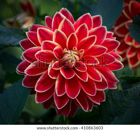Closeup of a beautiful red dahlia flower in a green natural environment  - stock photo