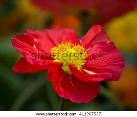 Closeup of a beautiful red poppy flower - stock photo