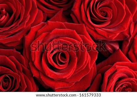 Closeup of a beautiful red roses . Floral background. - stock photo