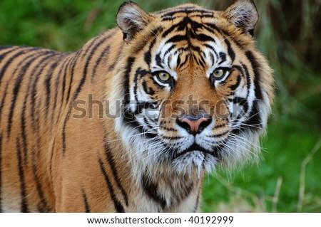 Closeup of a beautiful Sumatran tiger staring at the camera, saliva dripping from its jaws - stock photo