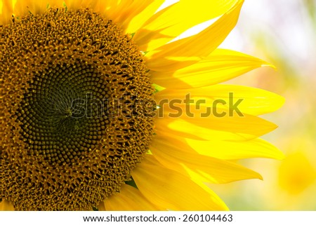 closeup of a beautiful sunflower in a field - stock photo