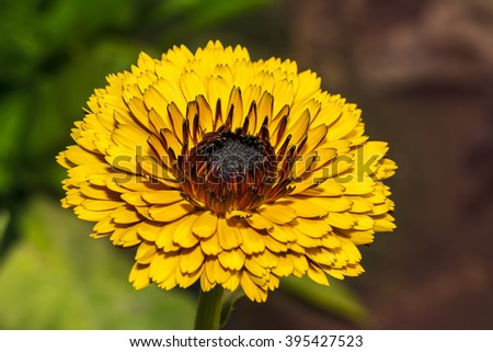 Closeup of a beautiful vibrant Calendula flower, these are genus of about 15â??20 species of annual and perennial herbaceous plants in the daisy family Asteraceae that are often known as marigolds. - stock photo