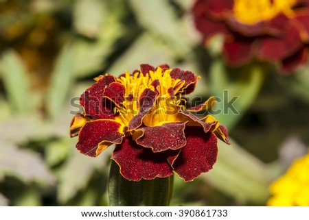 Closeup of a beautiful vivid yellow and maroon color Marigold flower in a garden - stock photo