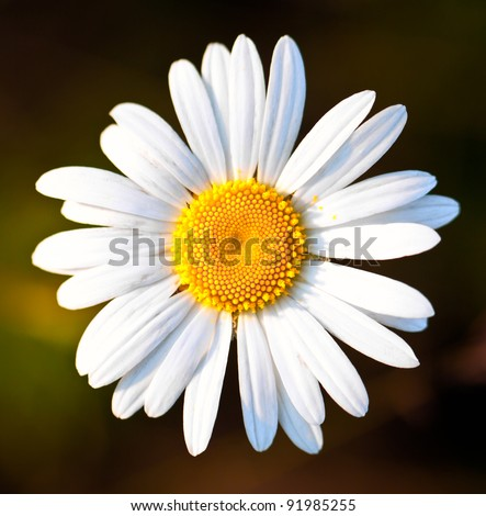 Closeup of a beautiful yellow and white Marguerite, Daisy flower - stock photo