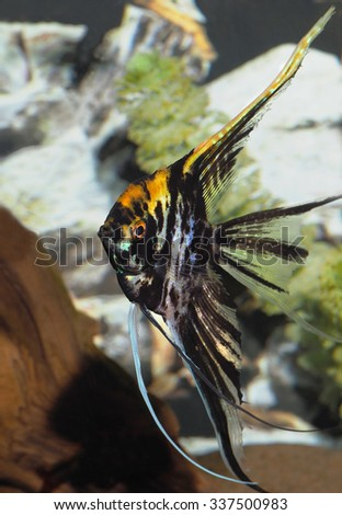 Closeup of a Black and Yellow Long Finned Angel Fish - stock photo
