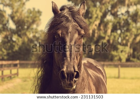 Closeup of a black brown Frisian stallion horse with long mane and flared nostrils facing camera in field looking majestic beautiful strong alert wild free - stock photo