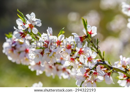 Closeup of a blossoming almond tree in full bloom - stock photo