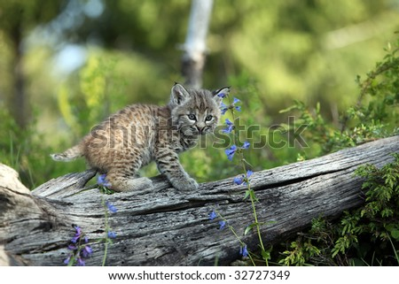 Closeup of a Bobcat kitten against a blurred background. - stock photo