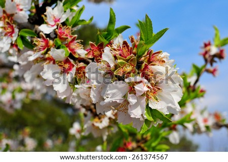 closeup of a branch of an almond tree in full bloom - stock photo