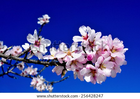 closeup of a branch of an almond tree in full bloom over the blue sky - stock photo