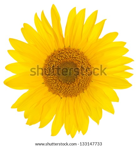 Closeup of a bright yellow sunflower over a white background - stock photo