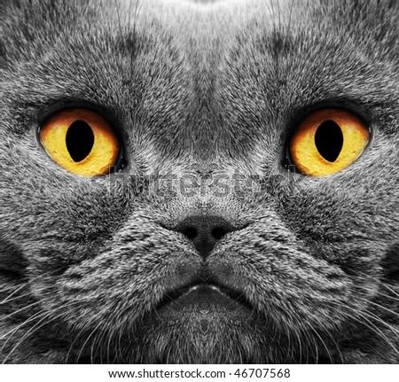 Closeup of a british short hair cat - stock photo