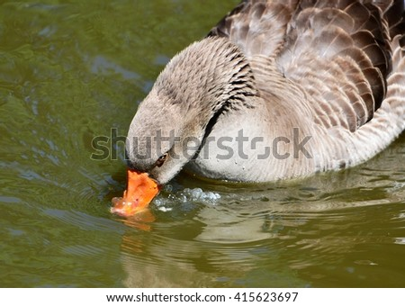 Closeup of a brown Graylag Goose, (Anser anser), drinking water. - stock photo