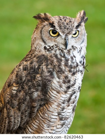 Closeup of a brown owl against a grassy background. - stock photo